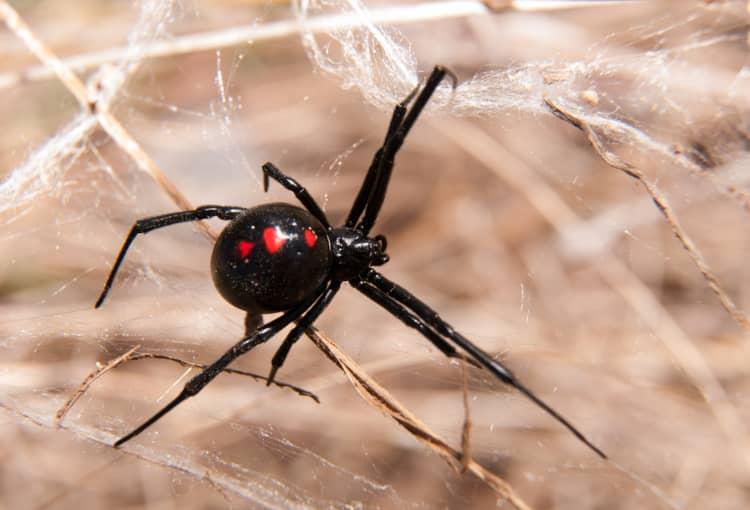 black widow removal