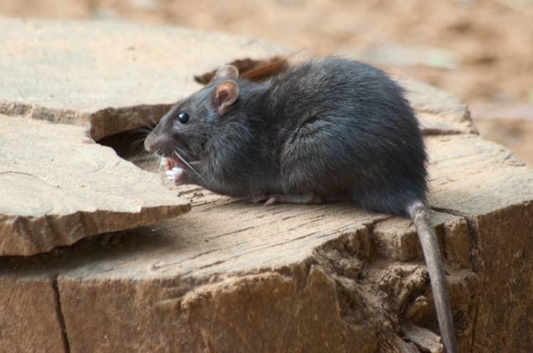 St. Louis Mouse control