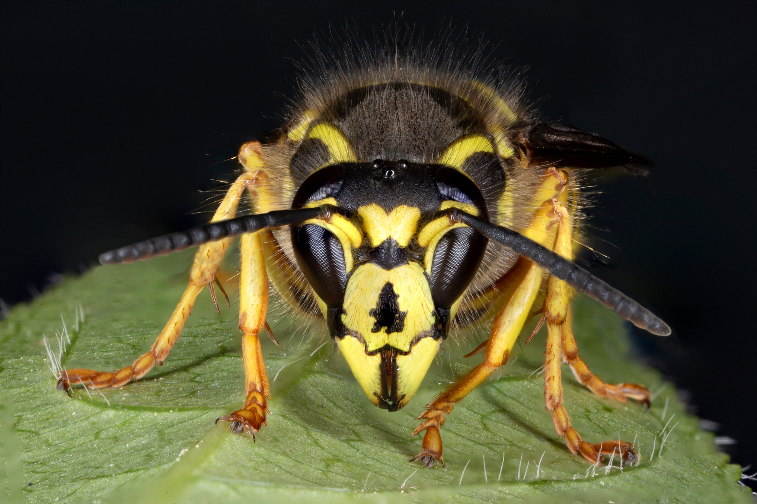 Closeup of a Yellowjacket perched on a leaf
