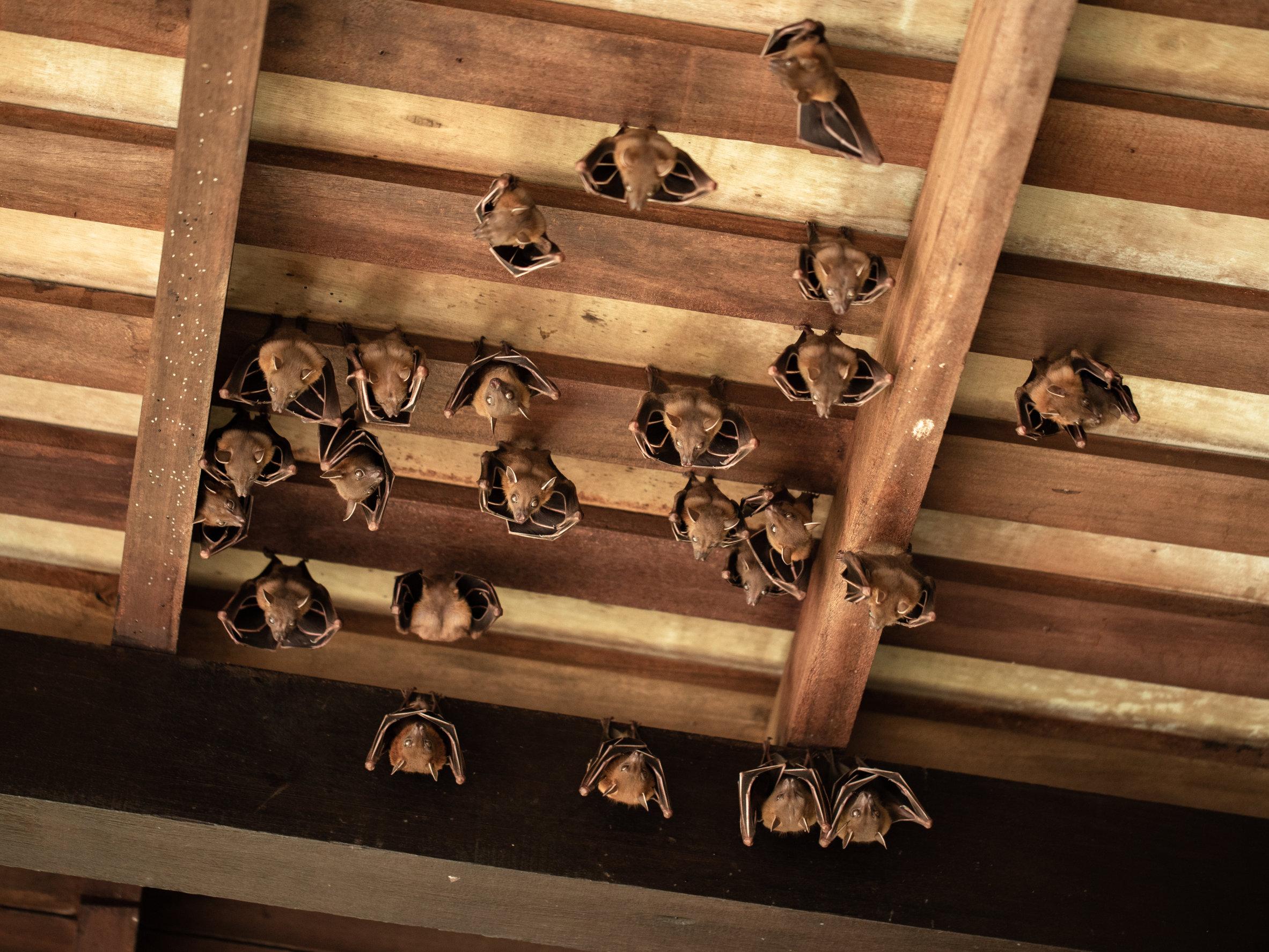 Bats in rafters