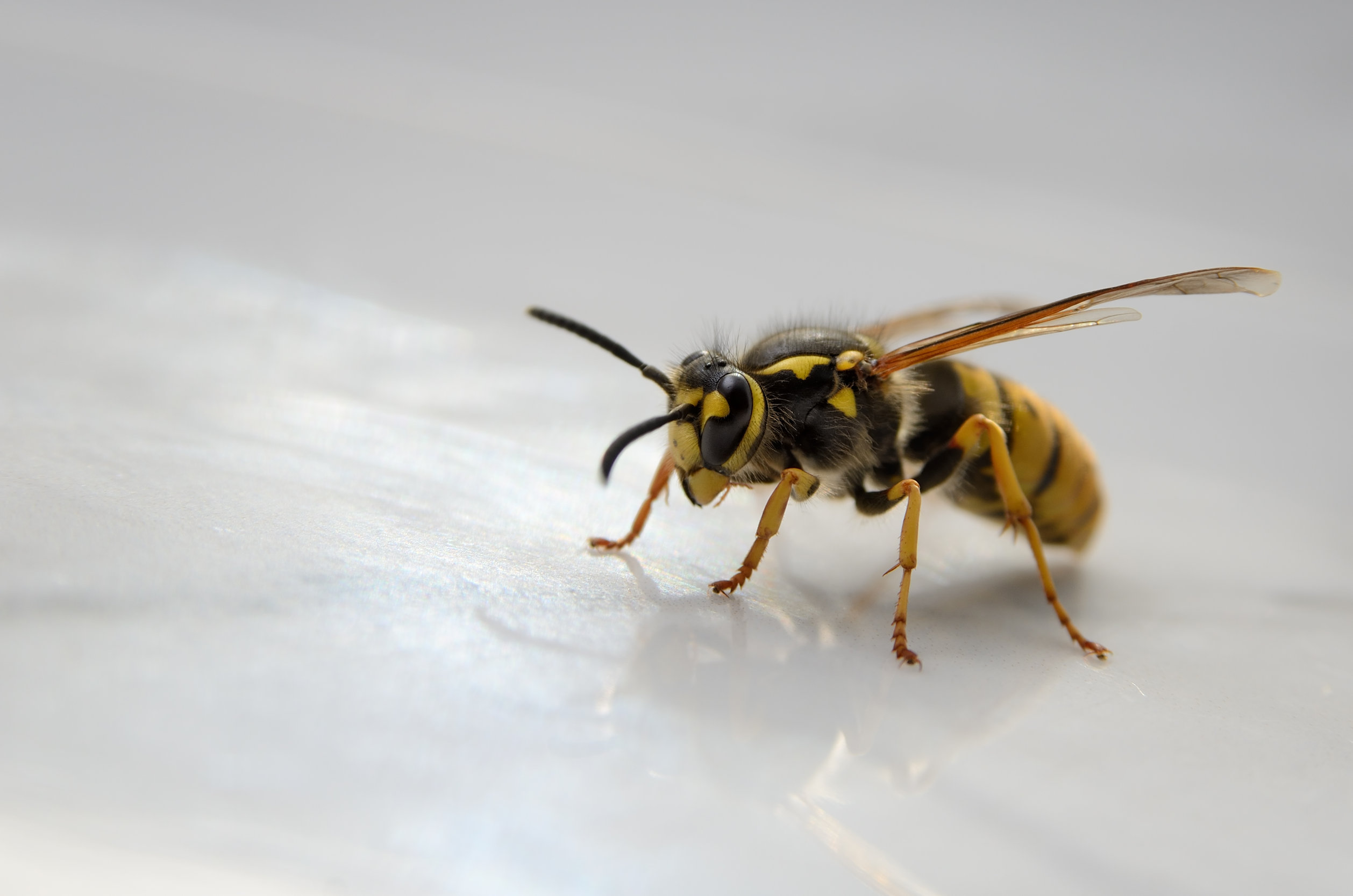 Big wasp isolated on white background