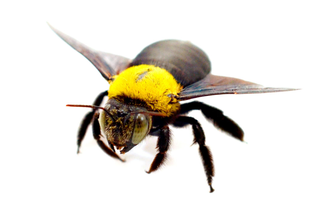Carpenter Bees: Protect Your Property